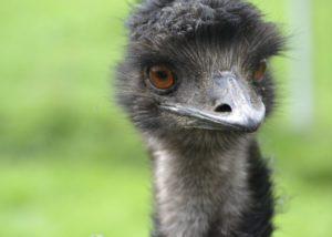 Emuöl